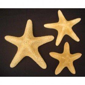 Estrella de mar filipina disecada