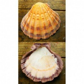 Concha marina Vieira anaranjada