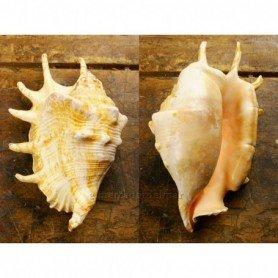 Caracola marina Lambis Lambis
