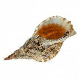 Caracola del Mar Tritón Charonia